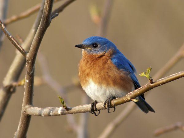 Portrait of a male Eastern Bluebird (Sialia sialis)